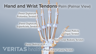 Medical illustration hand and wrist tendons