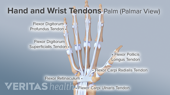 Ligaments, Tendons, and Nerves of the Wrist