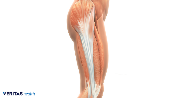 illustration of the iliotibial band anatomy