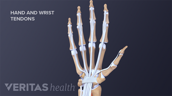 Tendons of the hand and wrist