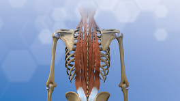 Posterior view of muscles in the back.
