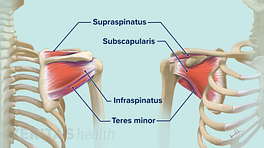 Tendons of the rotator cuff including the subscapularis, infraspinatus, teres minor, and supraspinatus.