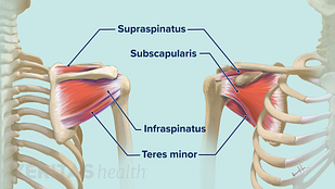 Illustration of the tendons of the rotator cuff