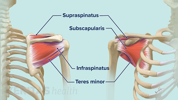 arm tendons diagram soft tissues of the shoulder  soft tissues of the shoulder
