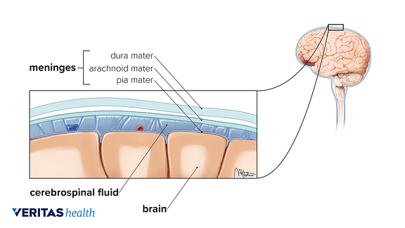 Illustration of the spinal meninges