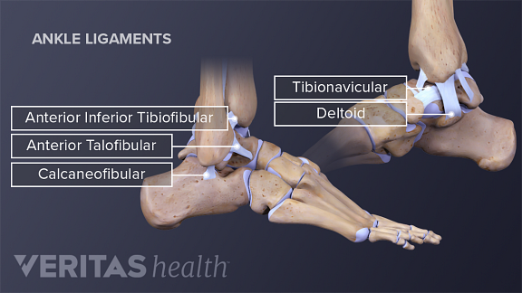 Medical illustration of the medial lateral view of the ankle ligaments
