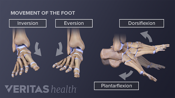 Movement of the foot showing inversion, eversion, dorsiflexion, and plantarflexion.