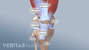 Medical illustration of the structures of the knee joint