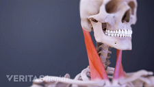 Anterior view of Sternocleidomastoid Muscle in the cervical spine.
