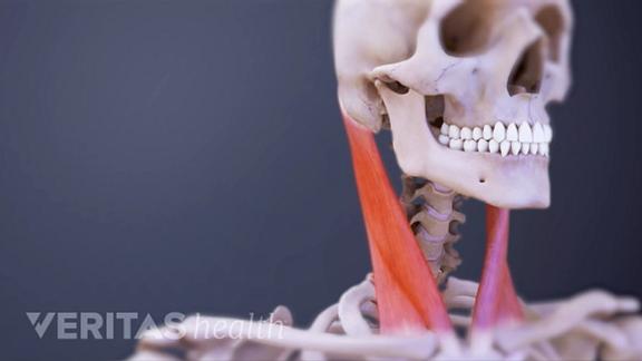 Medical illustration of the cervical spine muscles