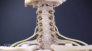 There are 8 cervical nerves in the cervical spine, labeled c1 through c8.