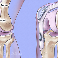 Anterior view of the knee showing a bursa the knee joint  between the femur and tibia.