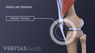 Anatomy of patellar tendon