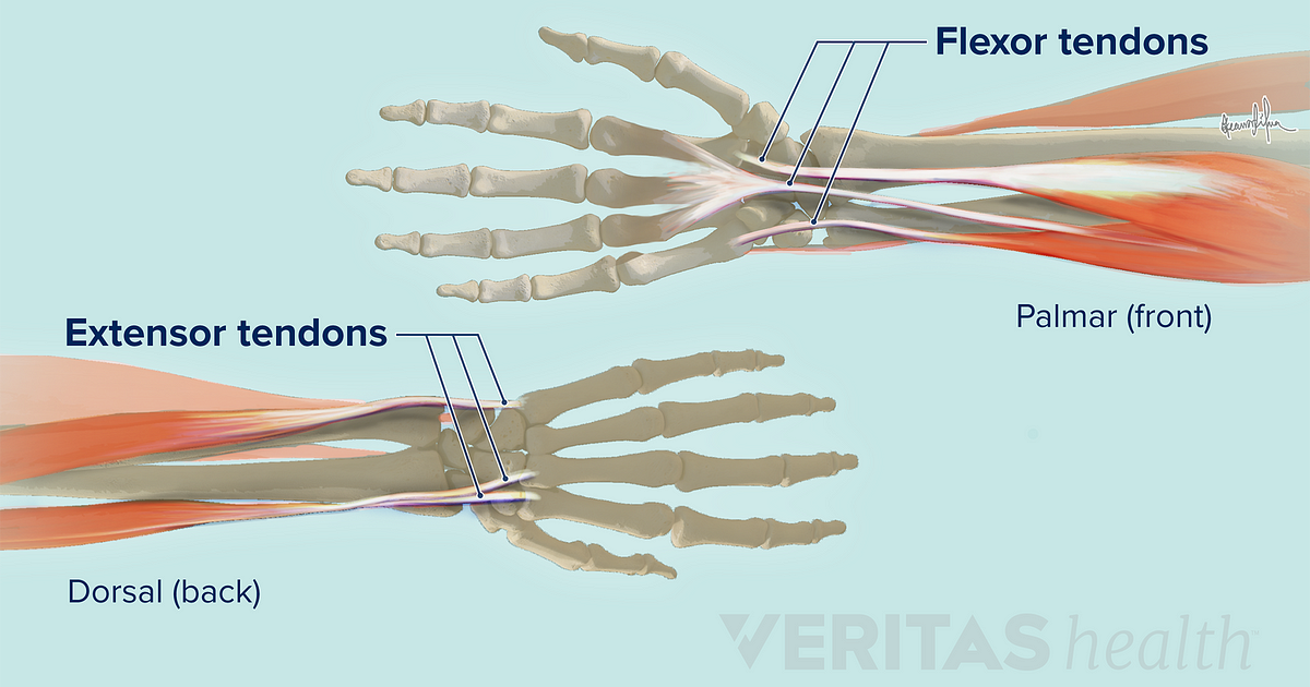 Soft Tissues of the Wrist
