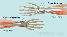 Extensor and flexor tendons at the wrist