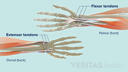Flexor and extensor tendons in the hand