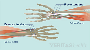 Extensor and flexor tendons at the wrist
