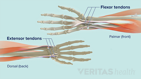 Illustration of the extensor and flexor tendons at the wrist