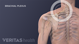 Medical illustration of the brachial plexus nerves