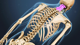 Posterior view of the spine with the cervical spine highlighted.