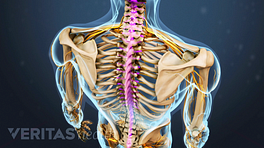 Skeleton with spinal cord highlighted
