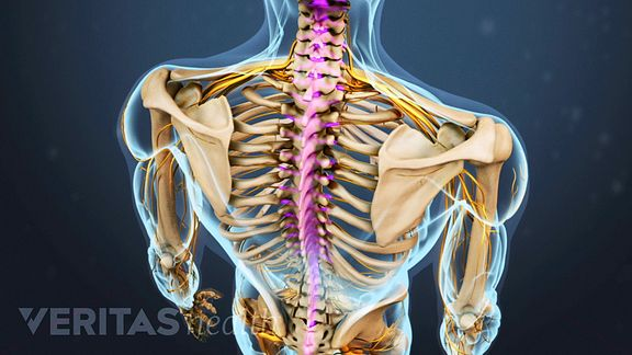 The spinal cord is a bundle of nerves that travels from the base of the brain down the spine in the spinal canal.
