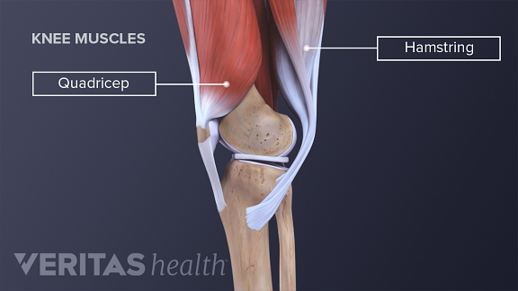 Illustration of the quadriceps and hamstring muscles