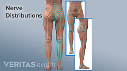 Medical illustration of the nerve distributions of the cauda equina down the right leg