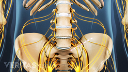Anterior view of the lumbar spine and pelvis.