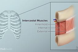 intercostal muscle anatomy