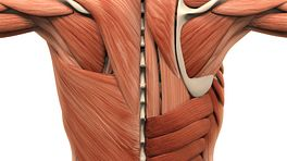 Posterior view of the muscles of the back.