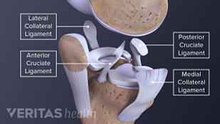Medical illustration of the four knee ligaments