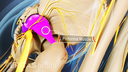 Profile view of buttocks highlighting the piriformis muscle.
