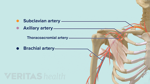 The shoulder arteries including subclavian, axillary, thoracoacromial, and brachial arteries