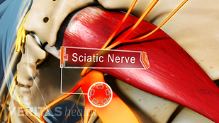 Animated video still of the sciatic nerve