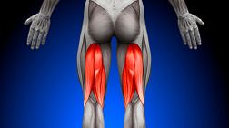 Image highlighting the hamstring muscles