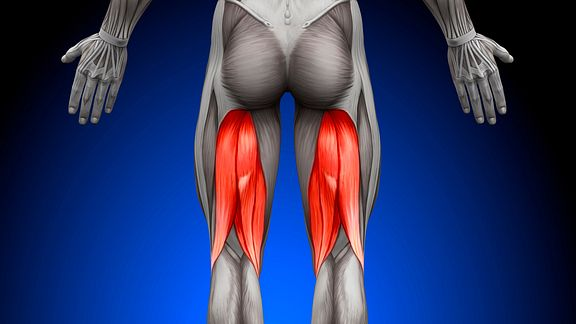 Posterior view of the lower body highlighting the hamstrings.