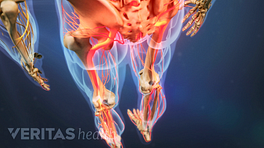 Posterior view of the lower body with the sciatic nerve highlighted in red, indicating pain, numbness or tingling