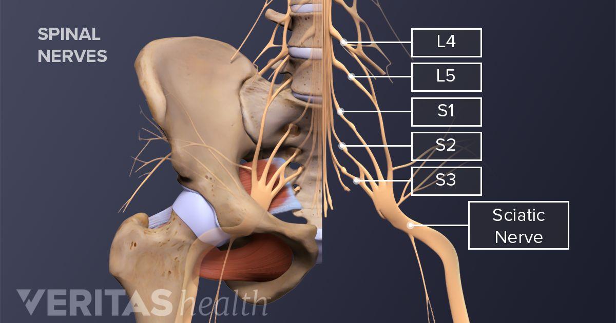 Diagram Of Sciatic Nerve In Foot - Wiring