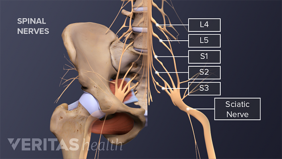 Illustration of the sciatic nerve and nerve roots