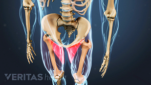 View of the pelvis with groin muscles highlighted