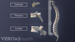 Vertebral column comparing shapes of cervical, thoracic, and lumbar vertebra.