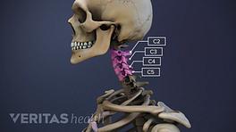 Illustration of vertebrae in the cervical spine