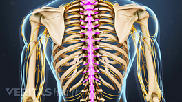 Posterior view of the upper back highlighting the spine.