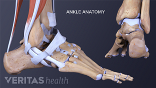 Medical illustration of the ankle anatomy