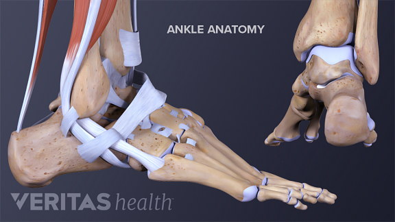 The ankle consists of a complex network of bones, muscles, ligaments, and tendons.