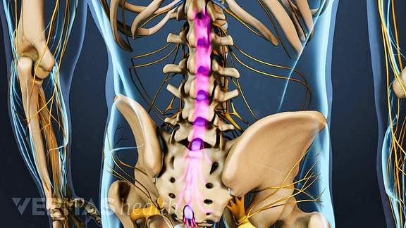 spinal nerves and cauda equina