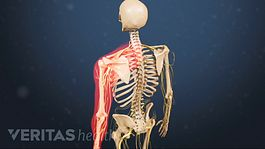Medical illustration of a skeleton with the left shoulder highlighted in red to indicate pain, numbness or tingling