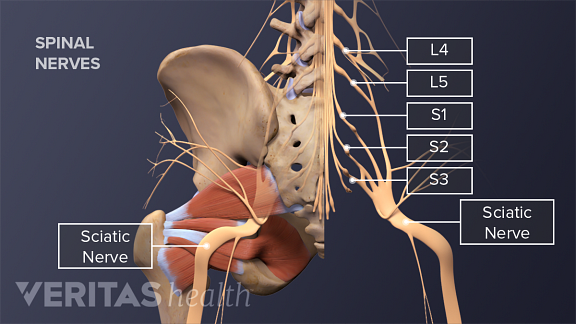 Posterior view of the pelvis labeling the spinal nerves, pirifromis muscle, and the sciatic nerve.