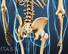 Posterior view of the lumbar spine and pelvis.